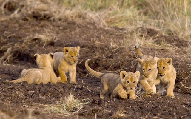 five-lion-cubs-play