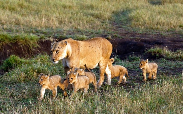 lioness-and-five-cubs