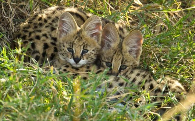 serval-kittens