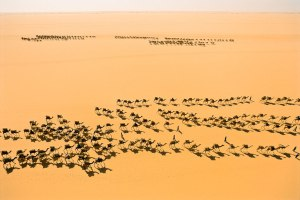 Salt caravans pass each other in the enormous plain of the Ténéré Desert